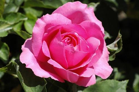 Roderich - Rosen von Weihrauch