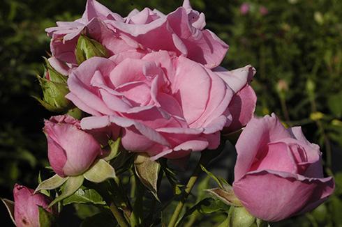 Alt-Marburg - Rosen von Weihrauch