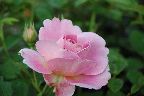 Walburga - Rosen von Weihrauch