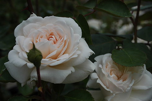 Miss Leda - Rosen von Weihrauch