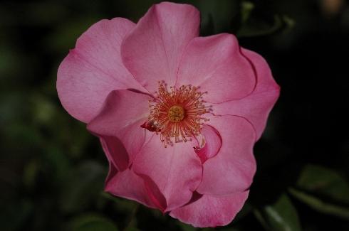 Pink Dream - Rosen von Weihrauch