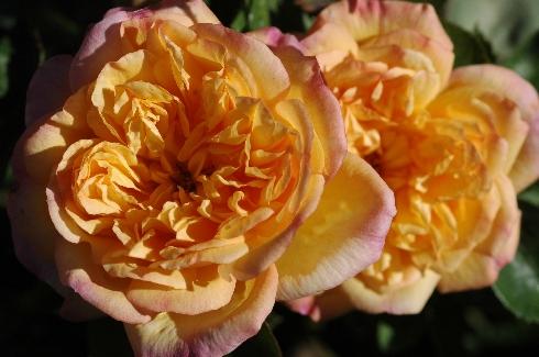 Alt Weinheim - Rosen von Weihrauch