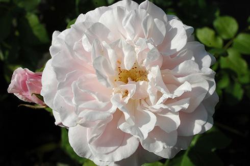 Gruss an Labenz - Rosen von Weihrauch