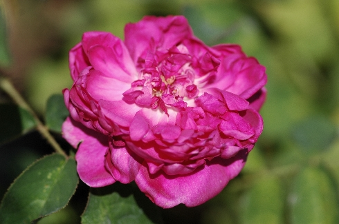 Eugenie Guinoisseau - Rosa Centifolia Muscosa