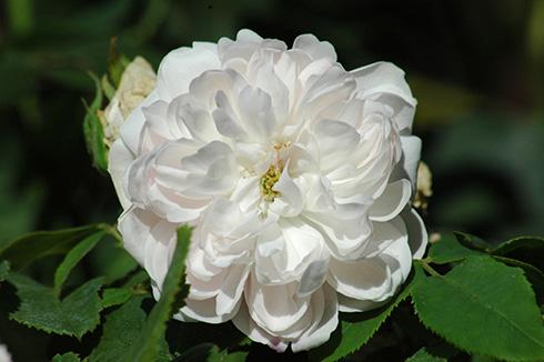 Weiße Jacques Cartier - Rosa Damascena
