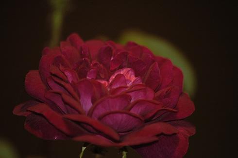 Nuits de Young - Rosa Centifolia Muscosa