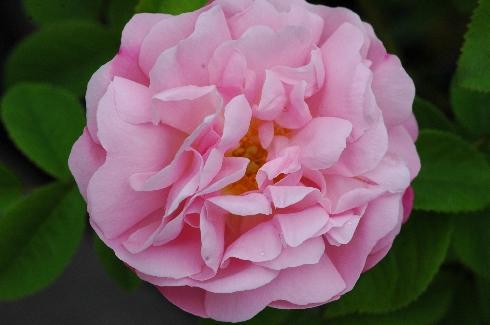 Coupe d'Hébé - Rosa Borbonica