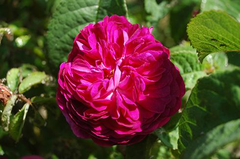 Hippolyte - Rosa Gallica