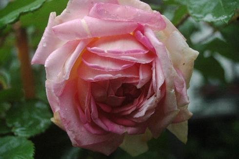 Robert Léopold - Rosa Centifolia Muscosa
