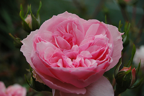 Erinnerung an Krickerhau  (Souvenir de Handlova) - Rosen von Weihrauch
