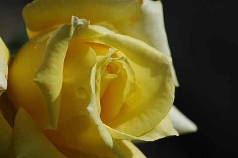 Gruss an Ebingen - Rosen von Weihrauch