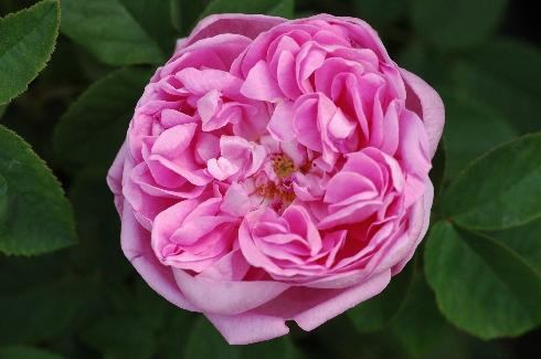 Sophie de Marsilly - Rosa Centifolia Muscosa