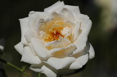 Haldensleben - Rosen von Weihrauch