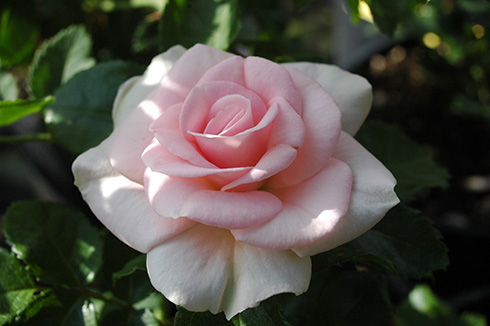 Rosenmädel - Rosen von Weihrauch