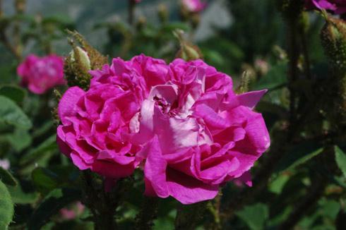 William Lobb ('Old Velvet Moss') - Rosa Centifolia Muscosa