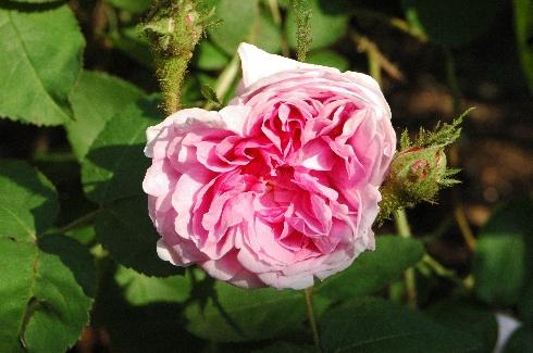 Salet - Rosa Centifolia Muscosa