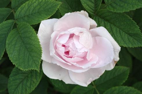 Königin von Russland - Rosen von Weihrauch