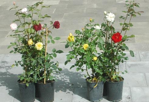 3 Englische Rosen im Paket - - Angebote -