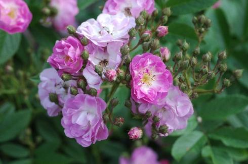 Donaunymphe - Rosen von Weihrauch