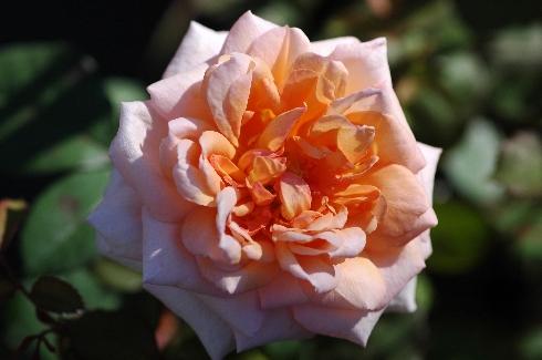 Belle du Seigneur - Rosen von Delbard