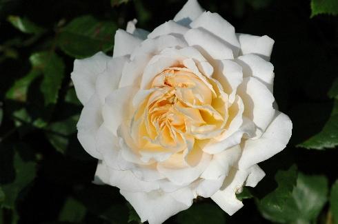 Crocus Rose (Emanuel) - Englische Rosen