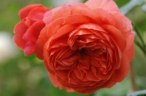 Summer Song - Englische Rosen