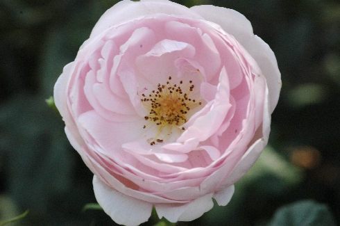 Scepter'd Isle - Englische Rosen