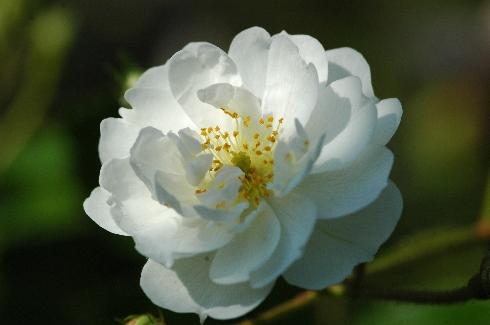 Guirlande d'Amour - Kletterrosen und Rambler