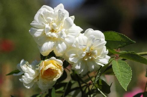 Malvern Hills - Englische Rosen