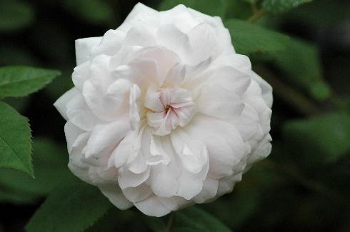 Shailer's White Moss - Rosa Centifolia Muscosa