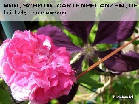 Seven Sisters - Kletterrosen und Rambler