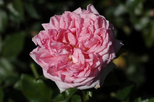 La Rose de Molinard - Rosen von Delbard