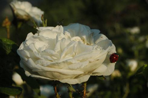 Botzaris - Rosa Damascena