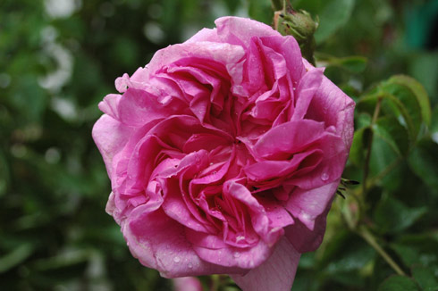 Marie-Louise - Rosa Damascena