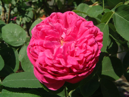 Rose de Resht - Rosa Damascena