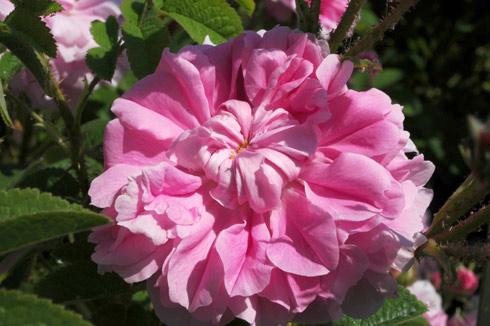 Trignitipetala ('Rose von Kazanlik') - Rosa Damascena