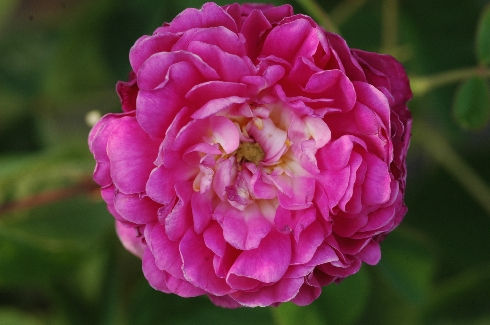Aimable Rouge - Rosa Gallica