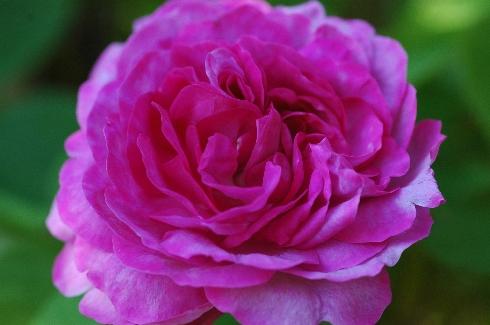 rose charles de mills online kaufen schmid gartenpflanzen. Black Bedroom Furniture Sets. Home Design Ideas