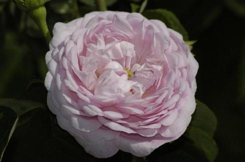 Duchesse de Montebello - Rosa Gallica