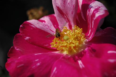 Versicolor - Rosa Gallica