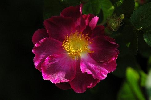 Violacea ('La Belle Sultane') - Rosa Gallica