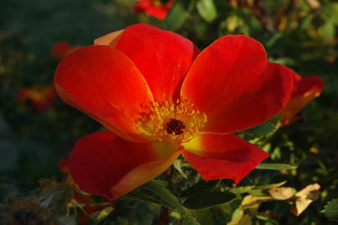 Foetida Bicolor - Rosa Lutea