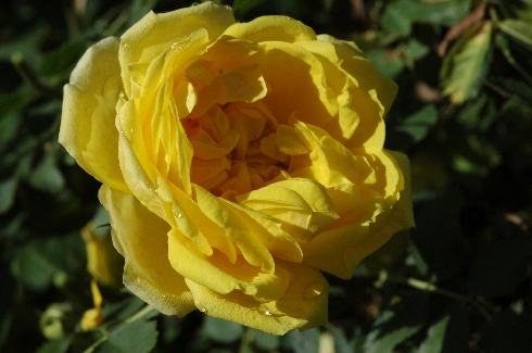Persian Yellow - Rosa Lutea