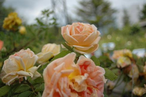 Soleil d'Or - Rosa Lutea