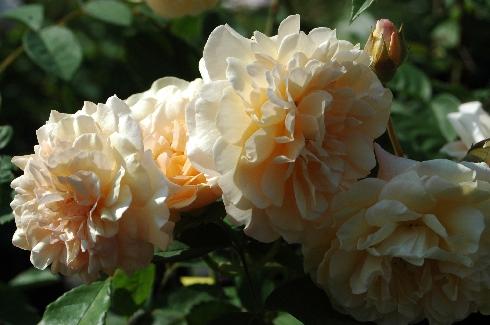 Buff Beauty - Rosa Moschata