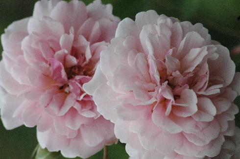 rose 39 felicia 39 rosen bei schmid gartenpflanzen online kaufen. Black Bedroom Furniture Sets. Home Design Ideas