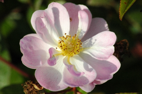 Queen of the Musk - Rosa Moschata