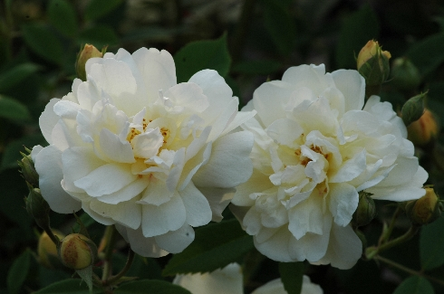 Thisbe - Rosa Moschata