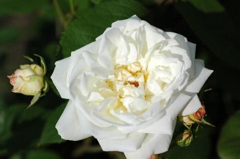 Weiße Gruß an Aachen - Polyantharosen