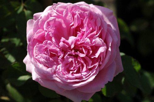 Comte de Chambord - Portland Rosen